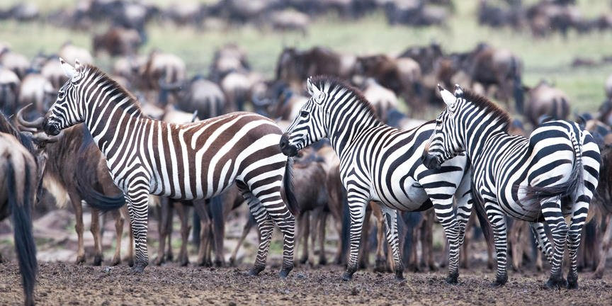 Shaba Game Reserve - Safari - Zebra
