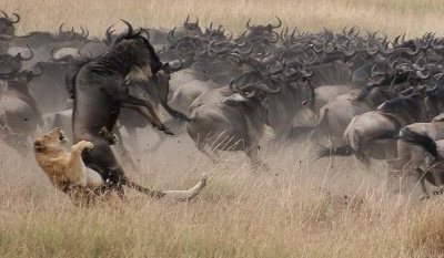 grosse-tierwanderung-safari-kenia